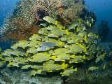 Schooling Sweetlip Fish Swim Past Coral Reef, Raja Ampat, Indonesia Fotografisk trykk av  Jones-Shimlock