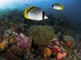 Lined Butterflyfish Swim Over Reef Corals, Komodo National Park, Indonesia Fotografisk trykk av  Jones-Shimlock