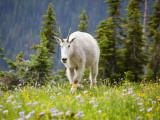 Mountain Goat in Wildflower Meadow, Logan Pass, Glacier National Park, Montana, USA Fotografie-Druck von Jamie & Judy Wild