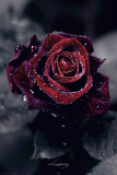 Luxury Rose Posters