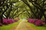Hermoso camino bordeado de árboles y azaleas moradas Pósters