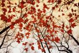 Paljaita oksia ja punaisia vaahteranlehtiä  Juliste