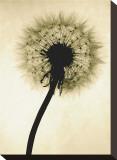 Backlit Dandelion Stretched Canvas Print by Jenny Kraft