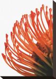 Orange Protea IV Stretched Canvas Print by Jenny Kraft
