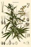 Cannabis Sativa Masterprint