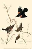 Red-Winged Blackbird Affiche originale