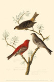 Pine Grosbeak Affiche originale