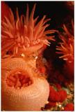 Candy-Cane Shrimp Neuheit