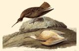 Eskimo Curlew Affiche originale