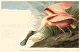 Roseate Spoonbill Affiche originale