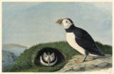 Atlantic Puffin Affiche originale
