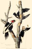 Ivory-Billed Woodpecker Affiche originale