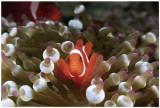 Spinecheek Anemonefish Masterprint
