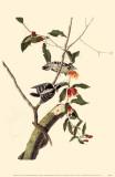 Downy Woodpecker Affiche originale