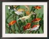 Duckling Swims Underwater Among Goldfish Pôsters por Jane Burton