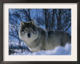 Grey Wolf Male in Snow, Norway Prints by Bernard Walton