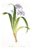 Redoute Iris Fimbriata Affiche par Pierre-Joseph Redouté