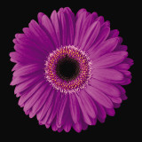 Gerbera Daisy Purple Stampa di Jim Christensen