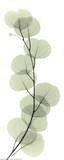 X-Ray Eucalyptus Branch I Kunstdrucke von Albert Koetsier
