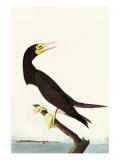 Brown Booby Affiches par John James Audubon