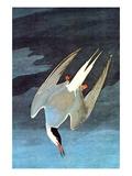 Arctic Tern Art par John James Audubon