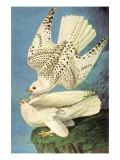 Falcons Posters by John James Audubon