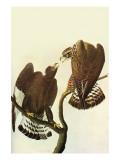 Roughlegged Hawk Posters by John James Audubon