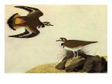 Pluviers kildir Affiche par John James Audubon