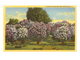 Lilacs, Highland Park, Rochester, New York Poster