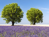 Two Trees in a Lavender Field, Provence, France Reproduction photographique par Nadia Isakova