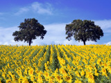 Field of Sunflowers with Holm Oaks Fotografisk trykk av Felipe Rodriguez