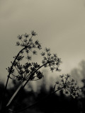 Silhouette of Cow Parsley Reproduction photographique par David Ridley