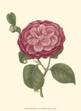 Camellia Blooms IV Posters by J.J. Jung