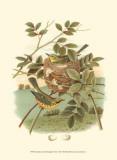 Golden Crowned Kinglet & Nest Affiches