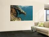 Galapagos Sealion, Gardner Bay, Española Island, Galapagos Islands, Ecuador Poster géant par Pete Oxford