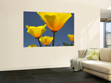 Yellow California Poppies (Eschscholzia Californica) Wall Mural by Emily Riddell