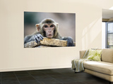 Monkey (Rhesus Macaque) at Monkey Temple, Galta Wall Mural by Lindsay Brown