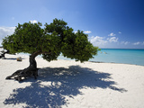 Divi Tree, Aruba Fotografie-Druck von George Oze