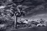 Joshua Tree Sunrise BW Fotografisk trykk av Steve Gadomski