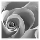 Rose Spiral II Affiche