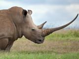 A White Rhino with a Very Long Horn; Mweiga, Solio, Kenya Fotografisk trykk av Nigel Pavitt