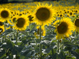 Sunflowers in the Summer; Tuscany, Italy, Europe Photographic Print by Carlos Sanchez Pereyra