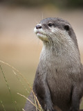 England, Leicestershire; Short-Clawed Asian Otter at Twycross Zoo Near the National Zoo Fotografisk tryk af Will Gray