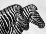 Namibia, Etosha; Plains Zebra Standing Quietly on a Pan in Etosha National Park Fotografie-Druck von Niels Van Gijn
