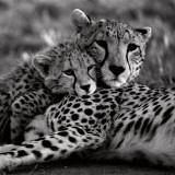 Cheetah with Cub Kunstdrucke von Danita Delimont