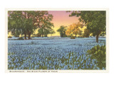 Blue Bonnets, State Flower of Texas Poster