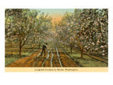 Irrigated Orchard in Bloom, Washington Poster