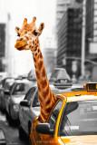 Giraffe dans un taxi new yorkais Affiches