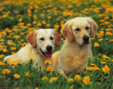 Golden Retrievers Prints by  Stuewer