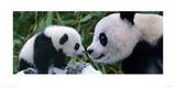 Panda Bear With Cub Reproduction procédé giclée par Steve Bloom